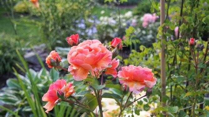 Róża Arabia