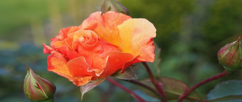Róża Arabia, fantazyjna w każdym płatku