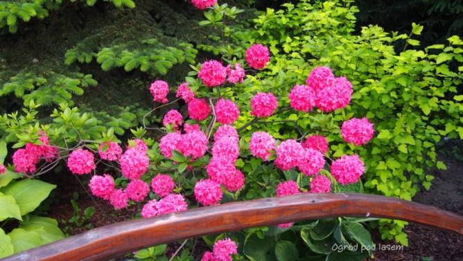 Azalia wielkokwiatowa 'Homebush