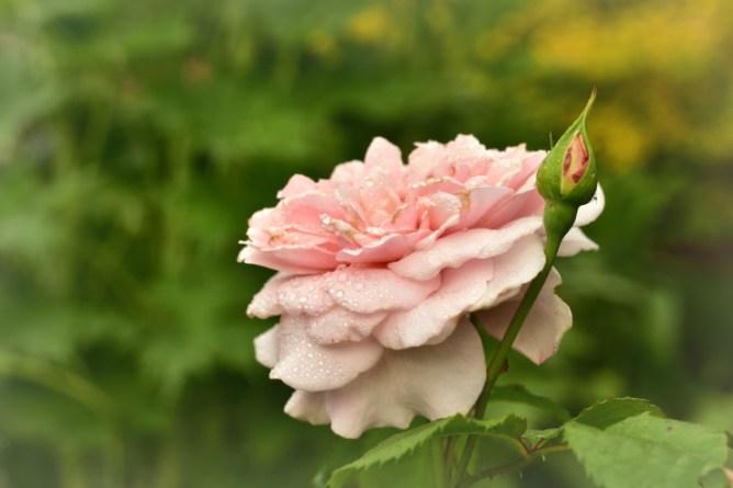 Róża Bremer Stadtmusikanten