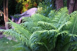 Paprocie ogrodowe