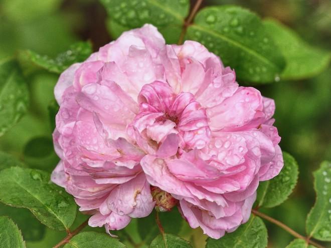 Róża Jacques Cartier