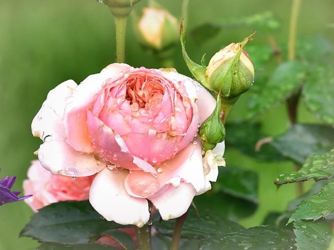 Róże pachnące