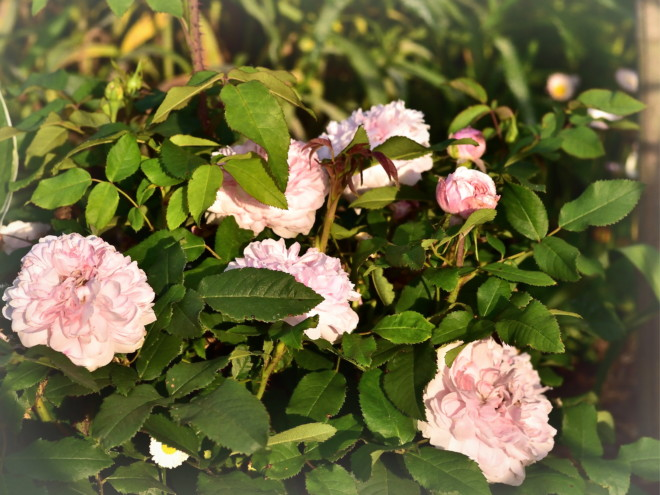 Róża damasceńska