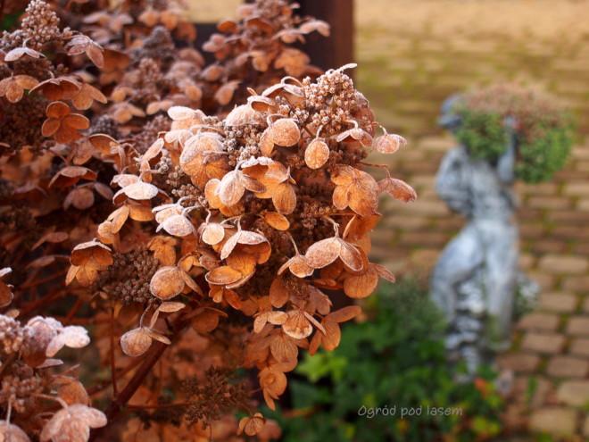 Zmrozona hortensja bukietowa