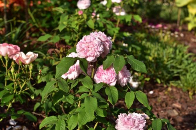 Róża Jacgues Cartier