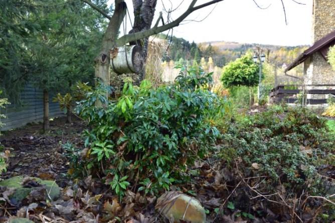 Pod koniec listopada soczysto-zielone liście zdobią szary zakątek ogrodu
