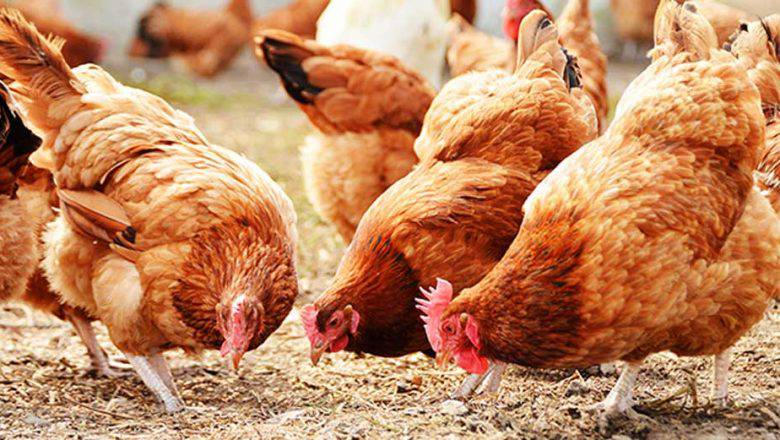 HOW TO START A LUCRATIVE POULTRY FARMING BUSINESS IN NIGERIA