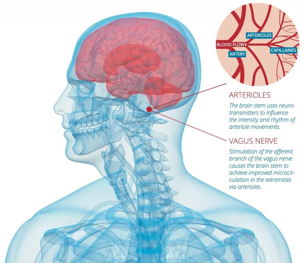 Arterioles and Vagus Nerve