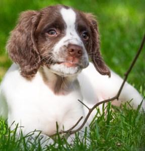 breeding springer spaniels puppies