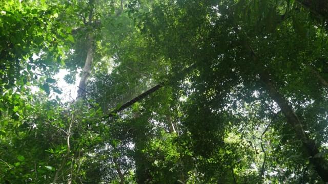 Canopy Walk in den Baumwipfeln