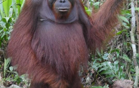 Bootstour im Dschungel – unter Orang Utans