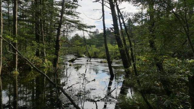 Die japanischen Alpen:: Wald in Kamikochi