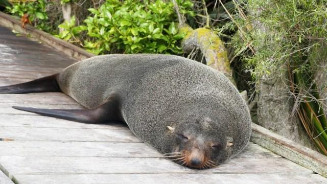 Kaikoura, Wale, Seelöwen und grandiose Landschaft: Lazy seal