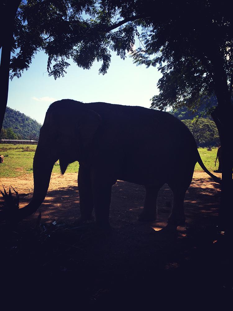 Elefante no Elephant Nature Park, Tailândia