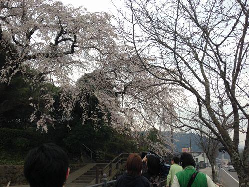 大原大しだれ桜2014.3.25