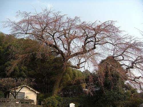 大原大しだれ桜12014.3.18