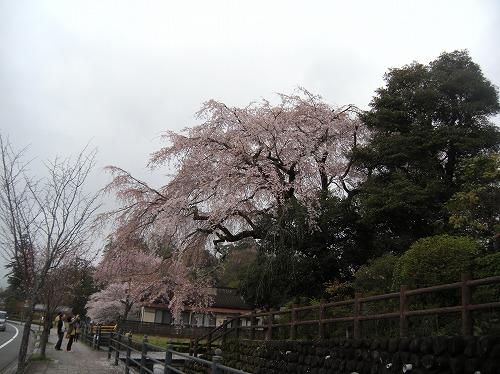 大原大しだれ桜2014.3.30