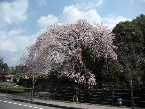 大原大しだれ桜22014.3.27