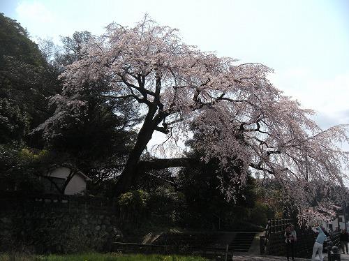大原大しだれ桜12014.3.27