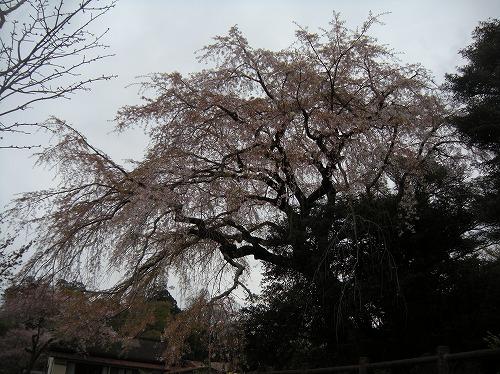 大原大しだれ桜12014.4.3