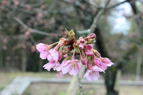 河津桜、一分咲き