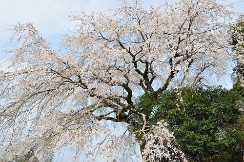 大原大しだれ桜2016.3.30
