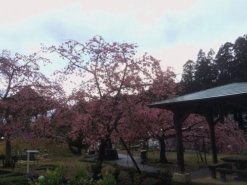 河津桜と梅がどちらも咲き、贅沢な光景。