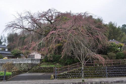 大原大しだれ桜2016.3.19