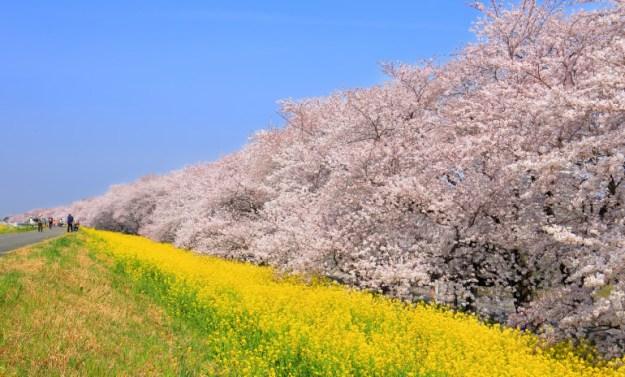 Kumagaya Cherry Blossoms
