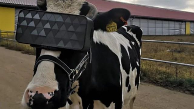 29 de noviembre de 2019, vaca, realidad, virtual, Rusia, leche, vacas en Rusia usan lentes de realidad virtual (Imagen: Especial)
