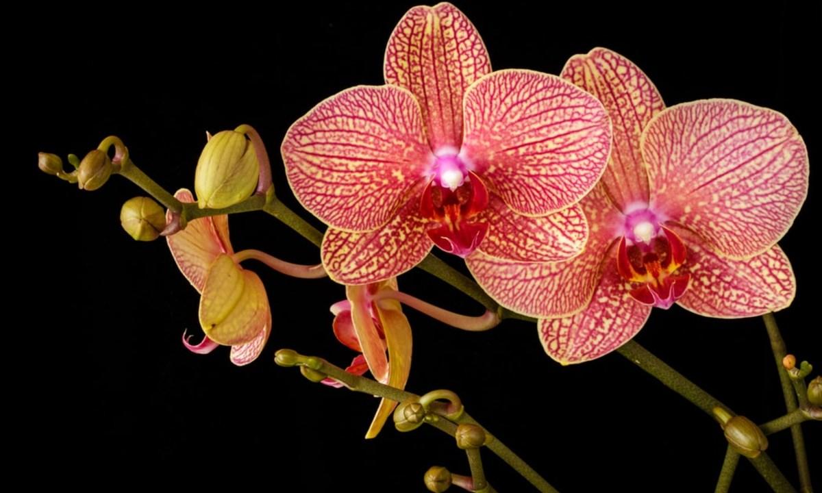 27 de marzo 2020, Precio de la orquídea, Flor, Precio, Orquídea, Exótico