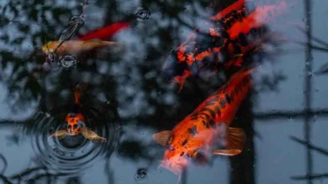 Dinero peces koi (Imagen: Unsplash)