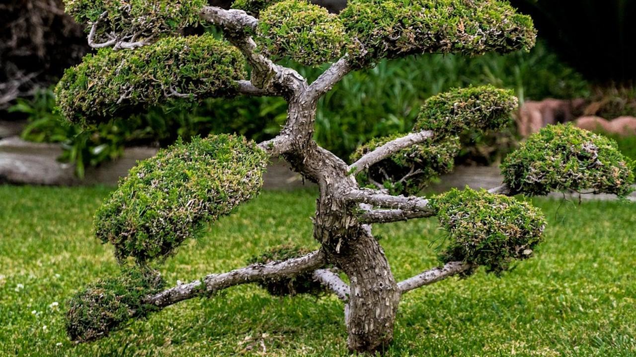 Un árbol bonsai (Imagen: Pixabay)