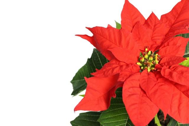 Producción de flores de Nochebuena cae 16% en 2020