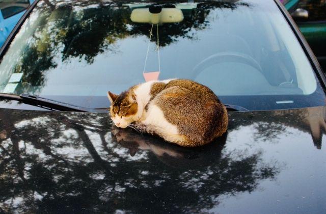 Puedes llegar a un gato en el auto