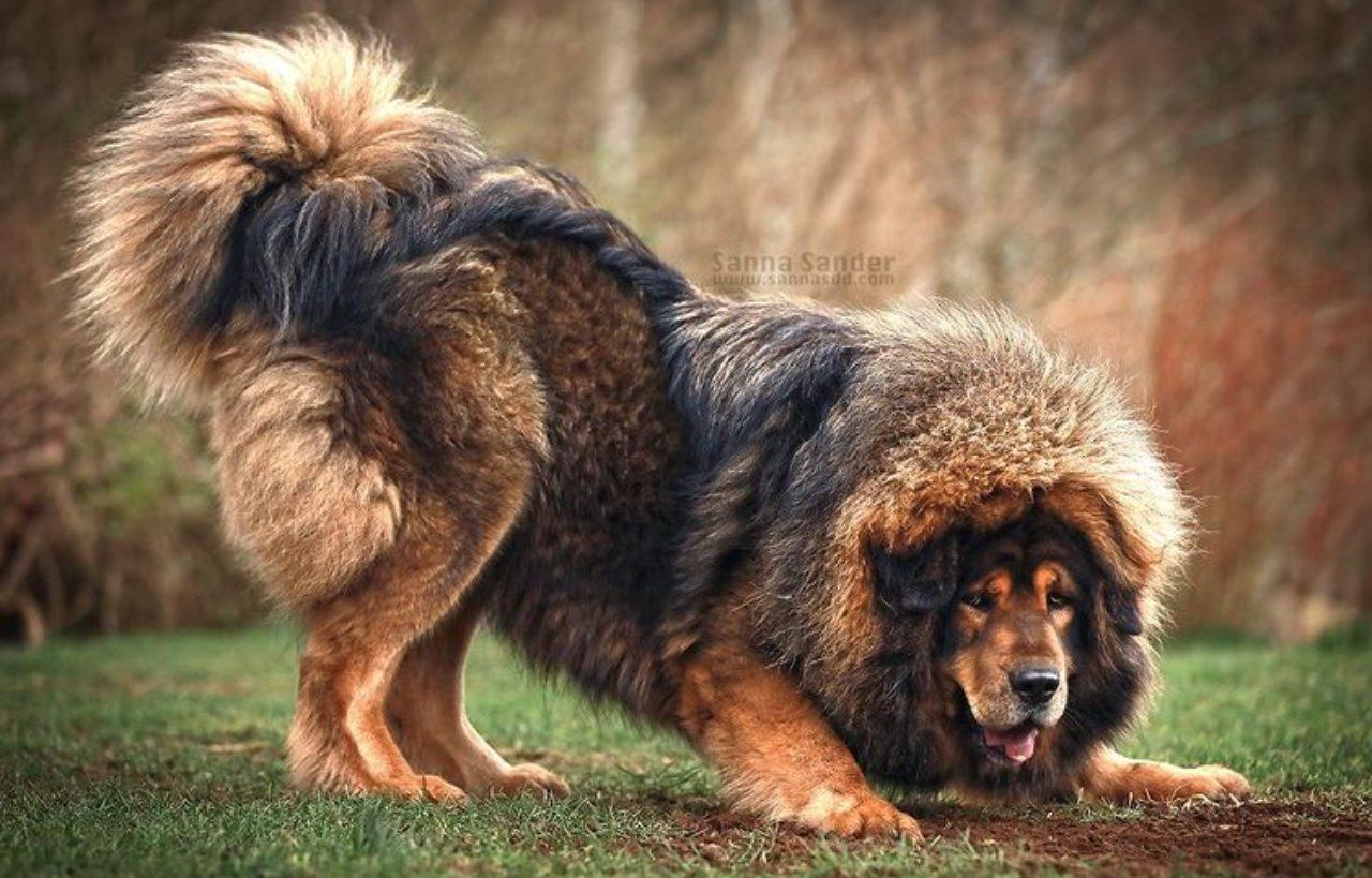mastin tibetano perro mas caro del mundo