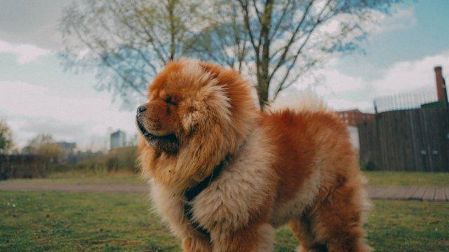 razas de perros mas caras mundo