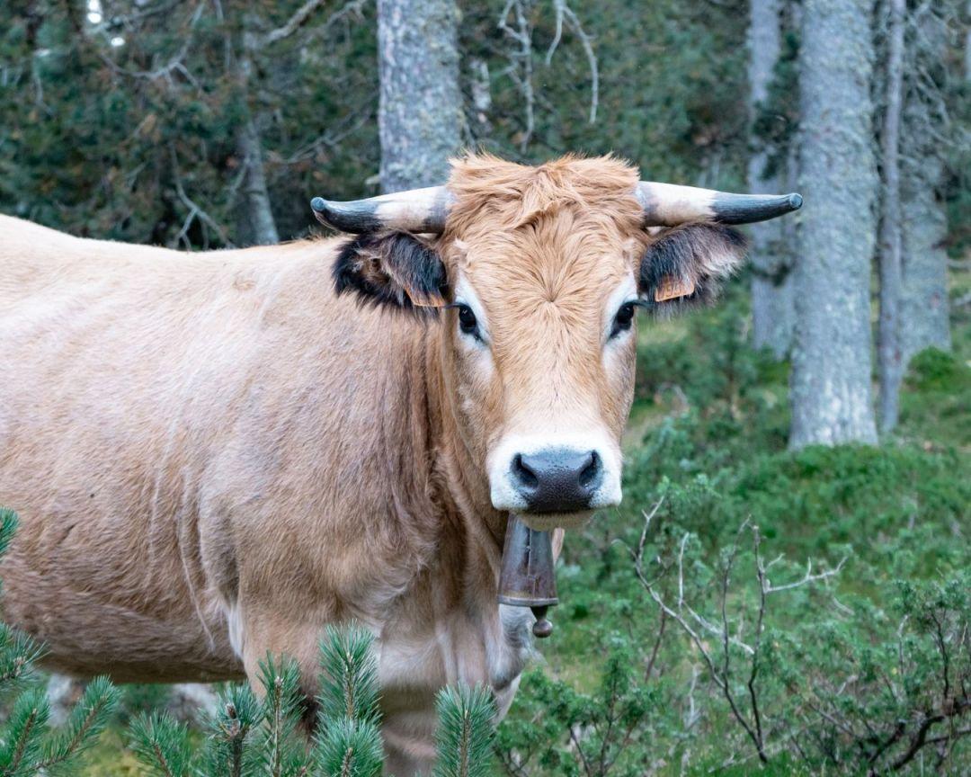 Sauto gîtes vache