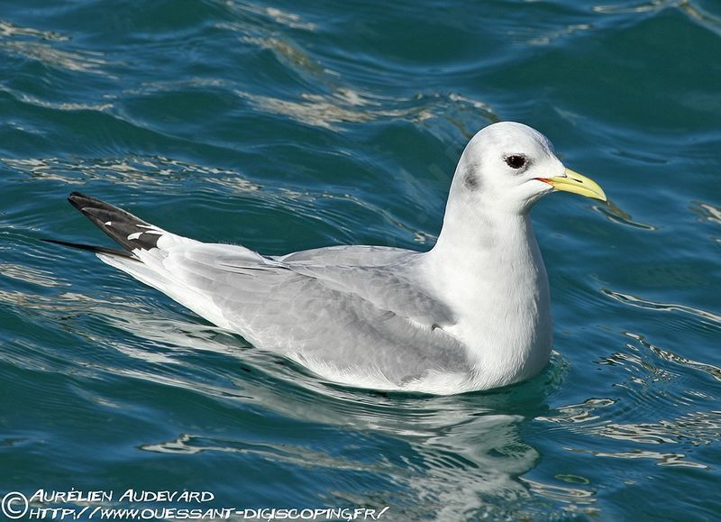 Mouette tridactyle - Rissa tridactyla