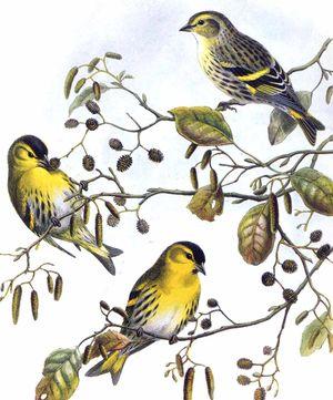 Grece philafric 39 s blog for Oiseau ventre jaune