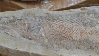 Photo of Comércio ilegal de fósseis é flagrado em municípios do Cariri