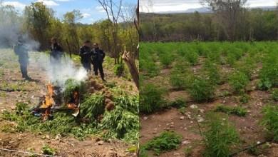 Foto de Porteiras-Ce: Polícia destrói 4,5 mil pés de maconha em plantação irrigada