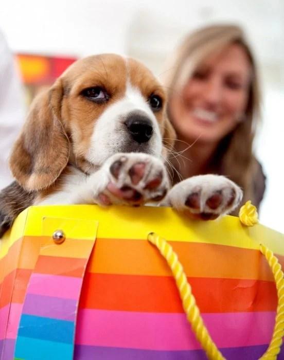 Perro beagle deteniendo el bolso de su dueña