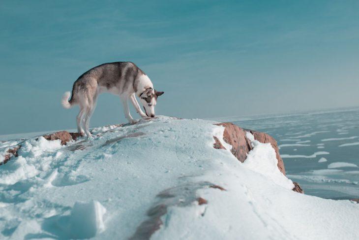 Perrito huskie olfateando con su nariz en medio de la nieve