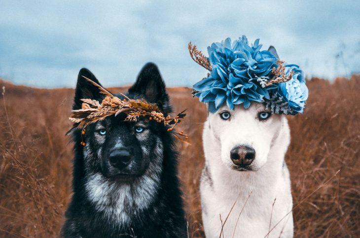 Perritos huskies con coronas de flores en la cabeza sentados posando para una foto