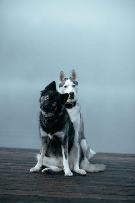 Perritos huskies uno delante del otro posando para una fotografía