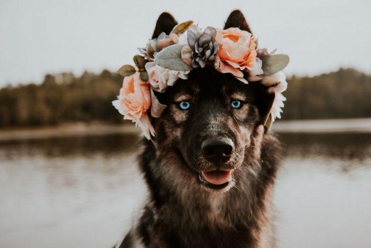 Perrito huskie usando una corona de flores de color naranja y blanco