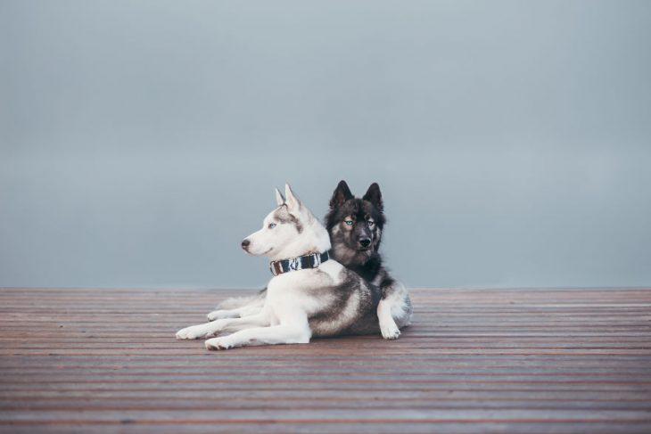 Perritos huskies sentados uno junto al otro mientras posan para una fotografía