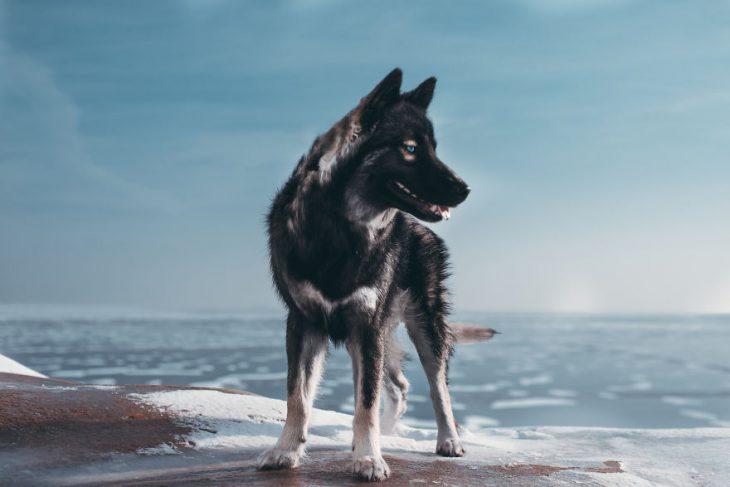 Perrito huskie a un lado de un río congelado